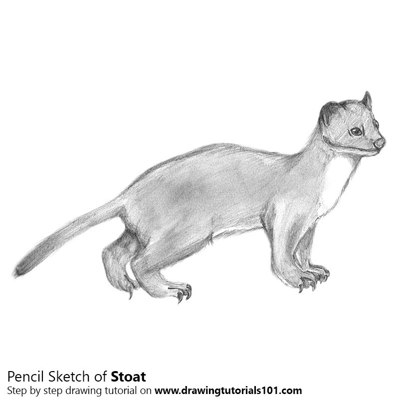 Pencil Sketch of Short-Tailed Weasel - Pencil Drawing