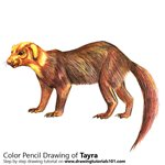 How to Draw a Tayra