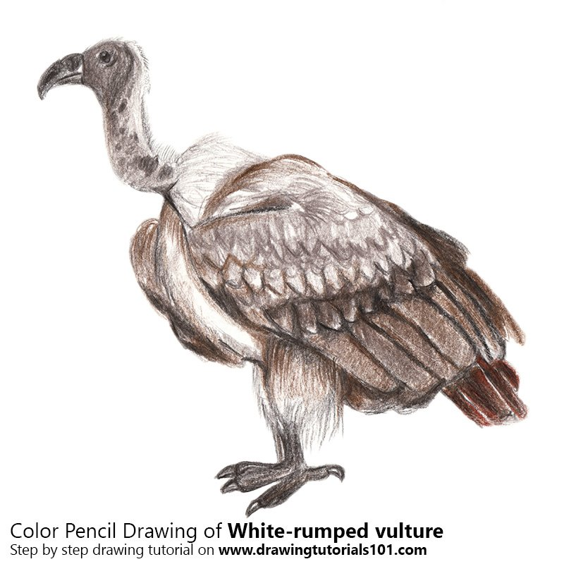 White-rumped vulture Color Pencil Drawing