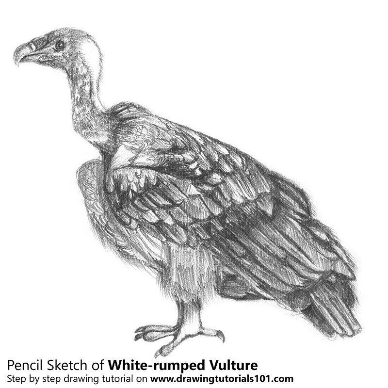 Pencil Sketch of White-rumped vulture - Pencil Drawing