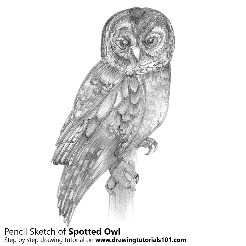 Pencil Sketch of Spotted Owl - Pencil Drawing
