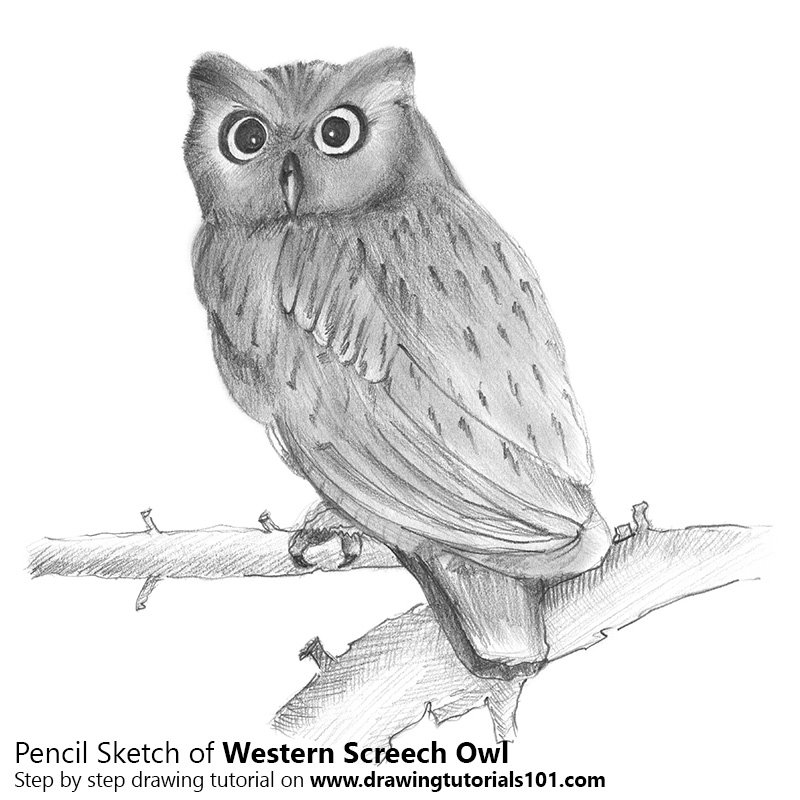 Pencil Sketch of Western Screech Owl - Pencil Drawing