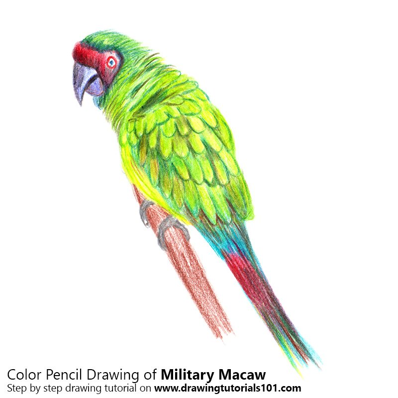 Military macaw Color Pencil Drawing