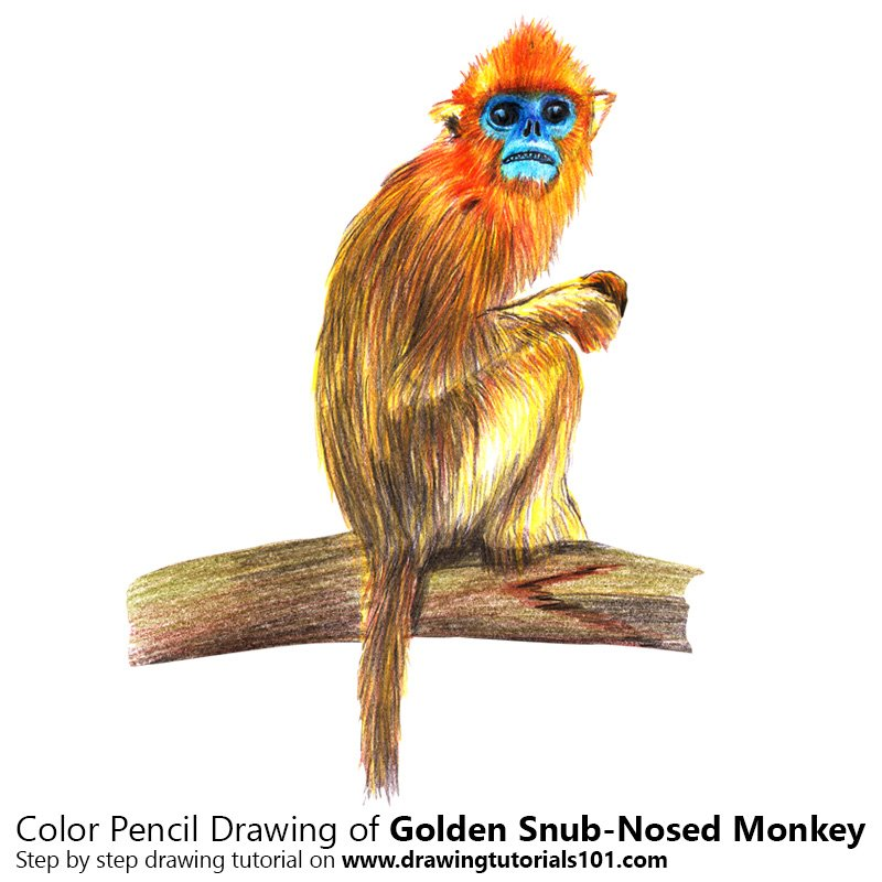 Golden Snub-Nosed Monkey Color Pencil Drawing