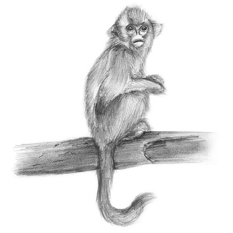 Pencil Sketch of Golden Snub-Nosed Monkey - Pencil Drawing