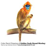 How to Draw a Golden Snub-Nosed Monkey