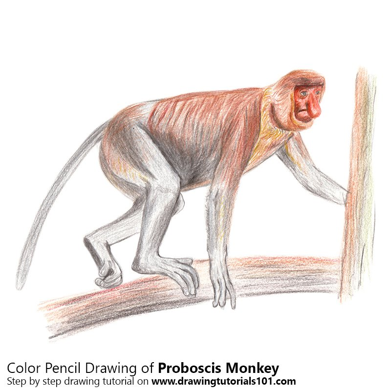 Pencil Sketch of Proboscis Monkey - Pencil Drawing
