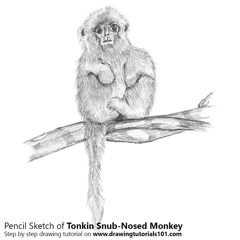 Pencil Sketch of Tonkin Snub-Nosed Monkey - Pencil Drawing