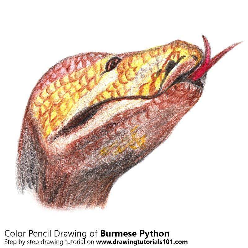 Burmese Python Color Pencil Drawing