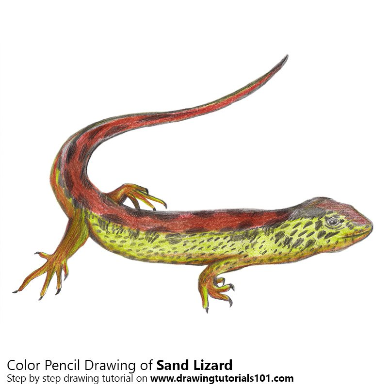 Sand Lizard Color Pencil Drawing