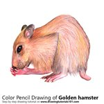 How to Draw a Golden hamster