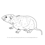 How to Draw a Meadow Vole