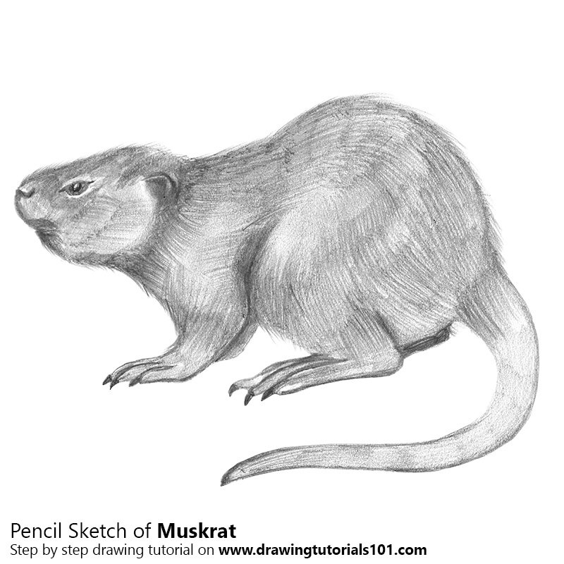 Pencil Sketch of Muskrat - Pencil Drawing