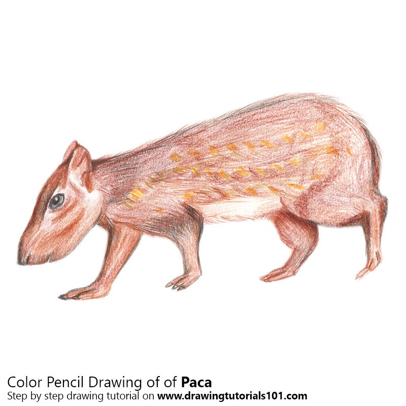 Paca Color Pencil Drawing