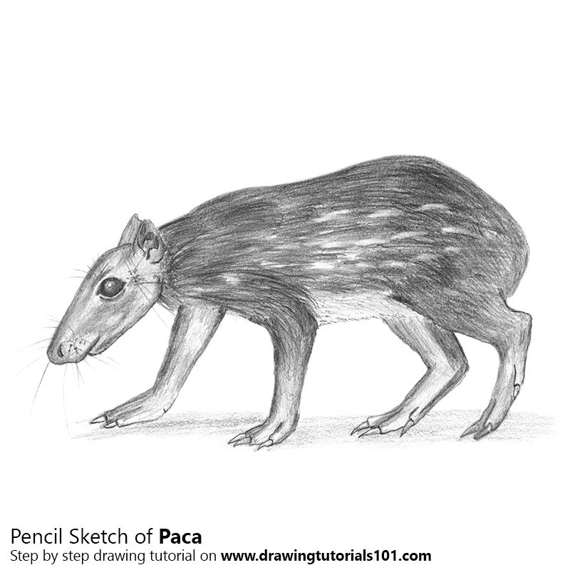 Pencil Sketch of Paca - Pencil Drawing