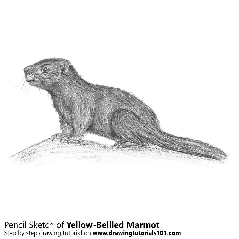 Pencil Sketch of Yellow-Bellied Marmot - Pencil Drawing