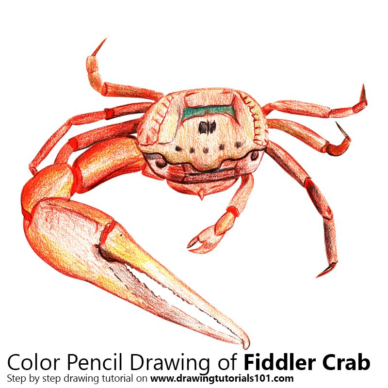 Fiddler Crab Color Pencil Drawing