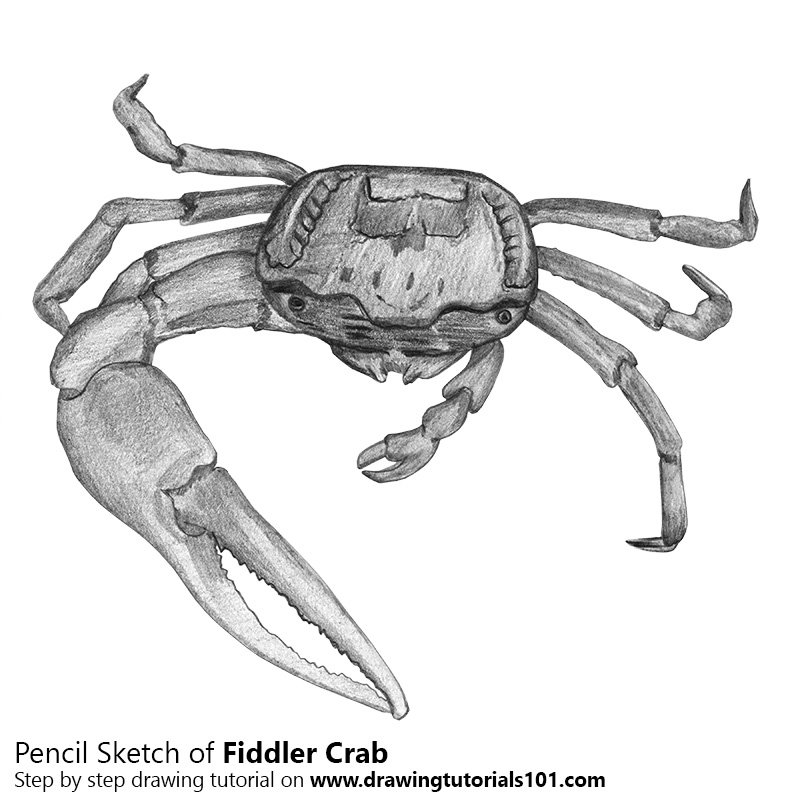 Pencil Sketch of Fiddler Crab - Pencil Drawing