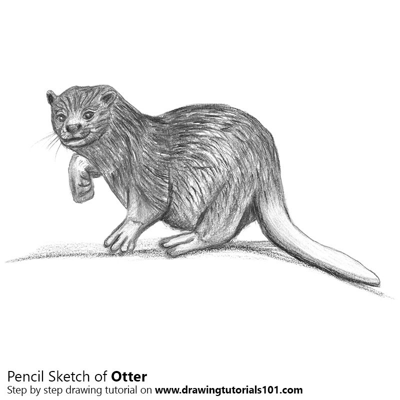 Pencil Sketch of Otter - Pencil Drawing