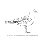 How to Draw a Common Gull