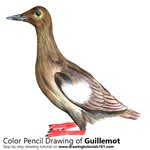 How to Draw a Guillemot