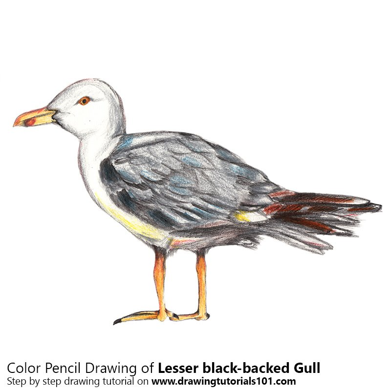 Lesser black-backed gull Color Pencil Drawing