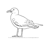 How to Draw a Lesser black-backed gull
