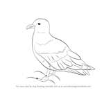 How to Draw a Skua