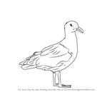 How to Draw a Western gull
