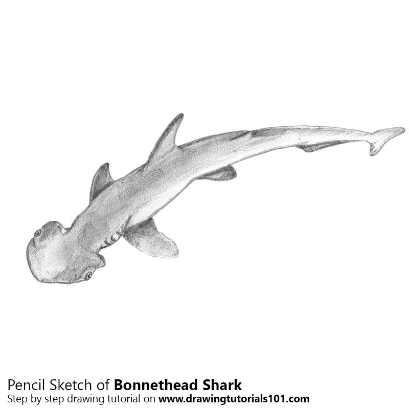 Pencil Sketch of Bonnethead Shark - Pencil Drawing