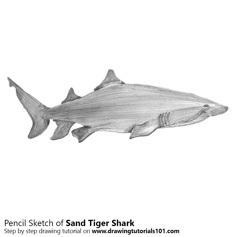 Pencil Sketch of Sand Tiger Shark - Pencil Drawing