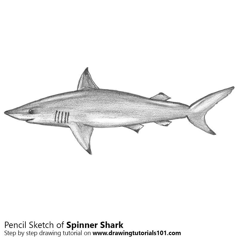 Pencil Sketch of Spinner Shark - Pencil Drawing