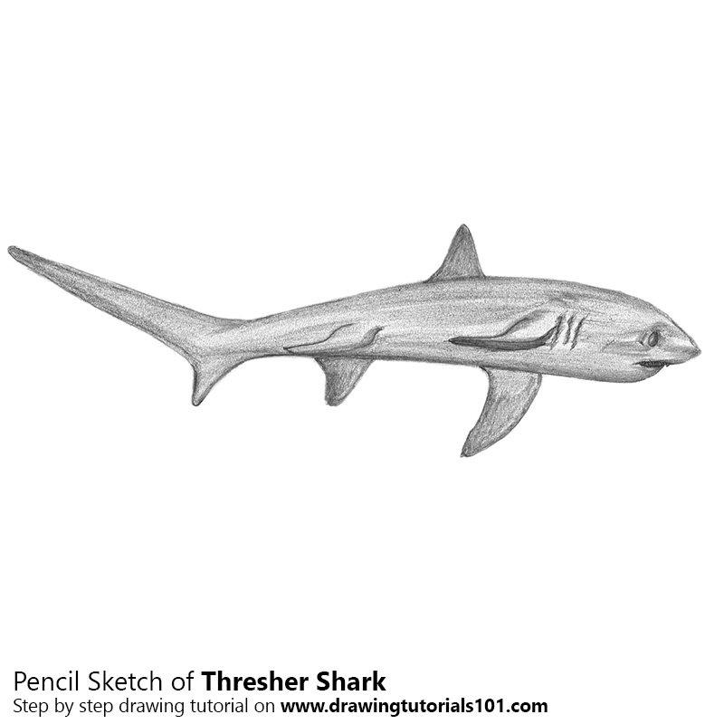 Pencil Sketch of Thresher Shark - Pencil Drawing