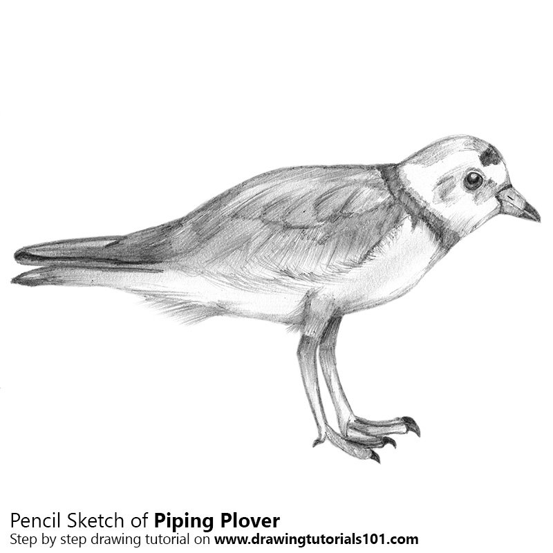 Pencil Sketch of Piping Plover - Pencil Drawing