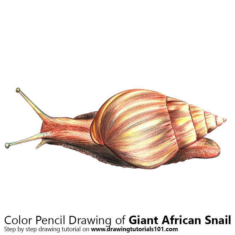 Giant African Snail Color Pencil Drawing
