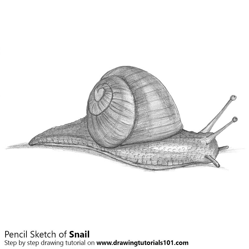 Pencil Sketch of Snail - Pencil Drawing