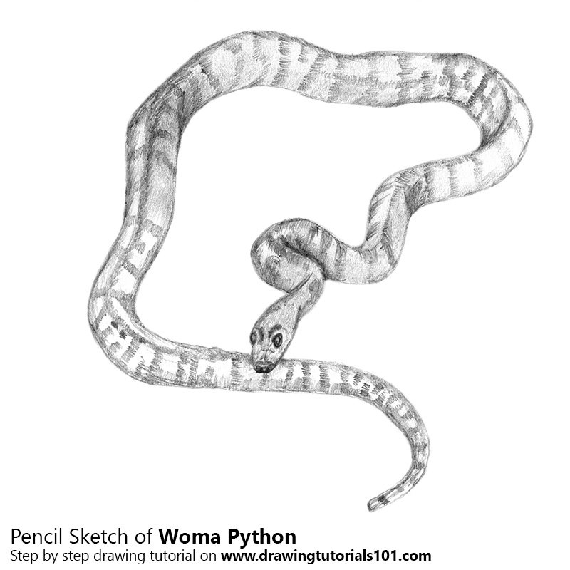 Pencil Sketch of Sand Python - Pencil Drawing