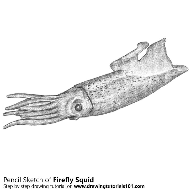 Pencil Sketch of Firefly Squid - Pencil Drawing