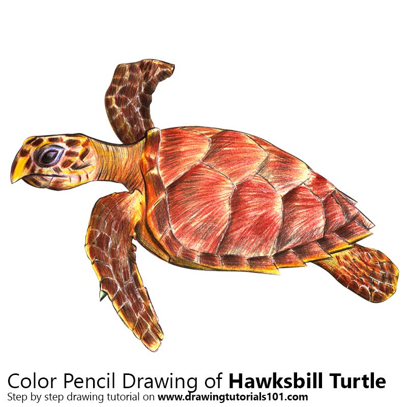 Hawksbill Turtle Color Pencil Drawing