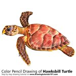 How to Draw a Hawksbill Turtle