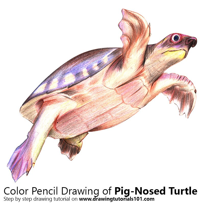 Pig-Nosed Turtle Color Pencil Drawing