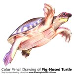 How to Draw a Pig-Nosed Turtle