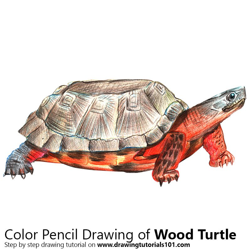 Wood Turtle Color Pencil Drawing