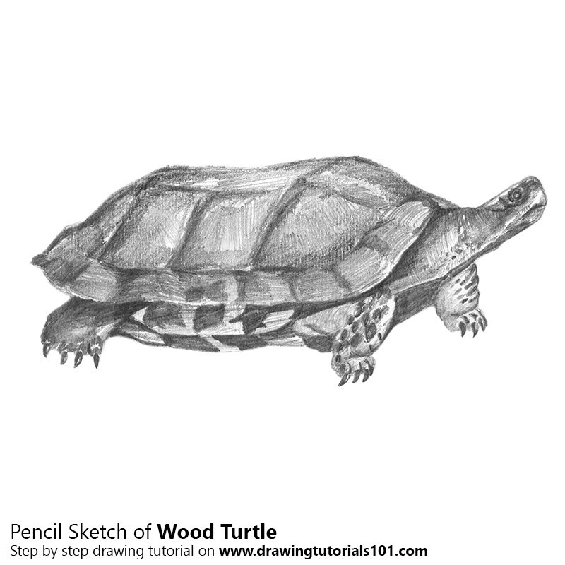 Pencil Sketch of Wood Turtle - Pencil Drawing