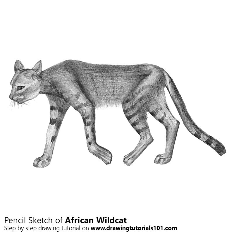 Pencil Sketch of African Wildcat - Pencil Drawing