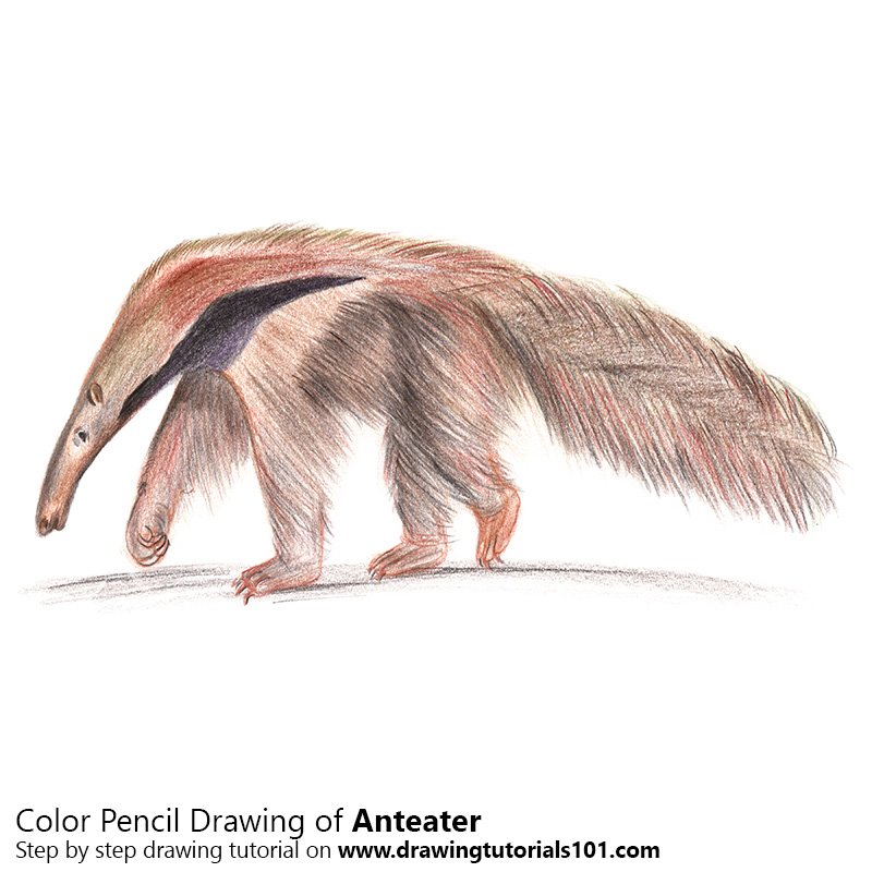 Anteater Color Pencil Drawing