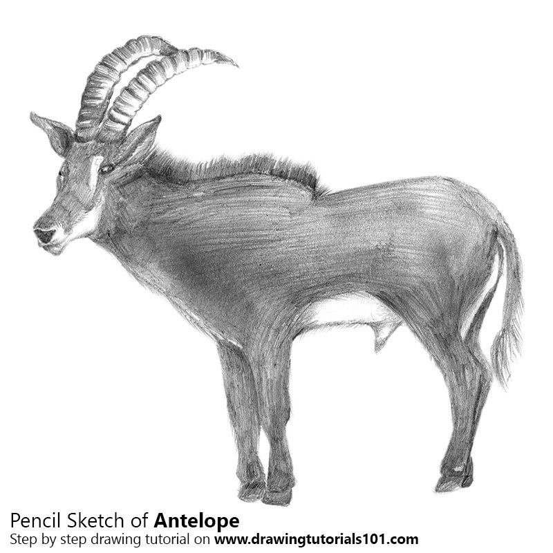 Pencil Sketch of Antelope - Pencil Drawing