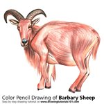 How to Draw a Barbary sheep