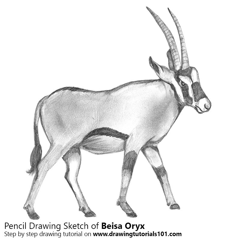 Pencil Sketch of Beisa Oryx - Pencil Drawing
