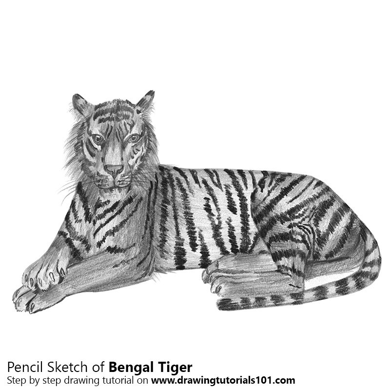 Pencil Sketch of Bengal Tiger - Pencil Drawing